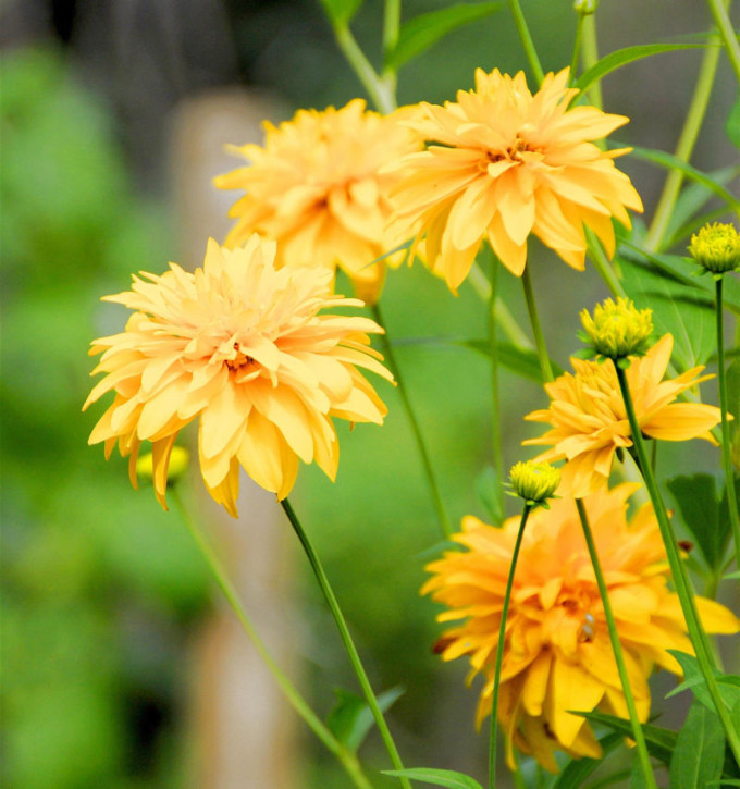 Schlitzblättriger Sonnenhut Goldball - Rudbeckia laciniata