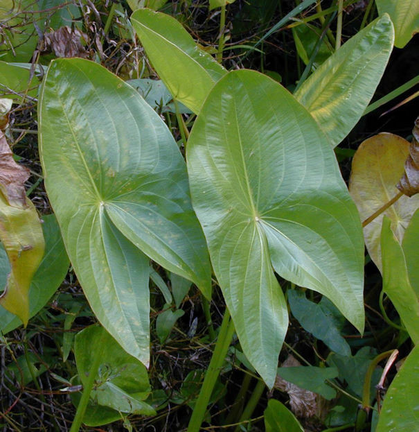 Bleitblättriges Pfeilkraut - Sagittaria latifolia