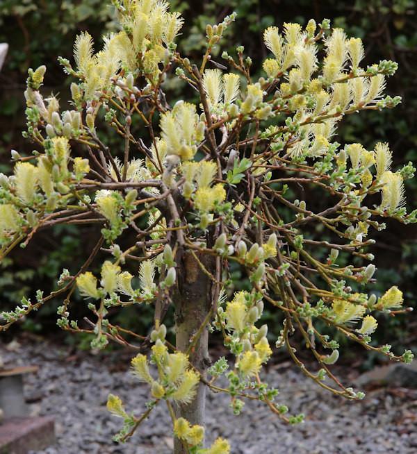 Hochstamm Kriechweide Voorthuizen 60-80cm - Salix repens