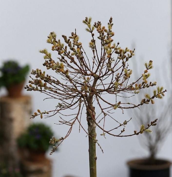 Hochstamm Zwerg Zierweide 40-60cm - Salix subopposita