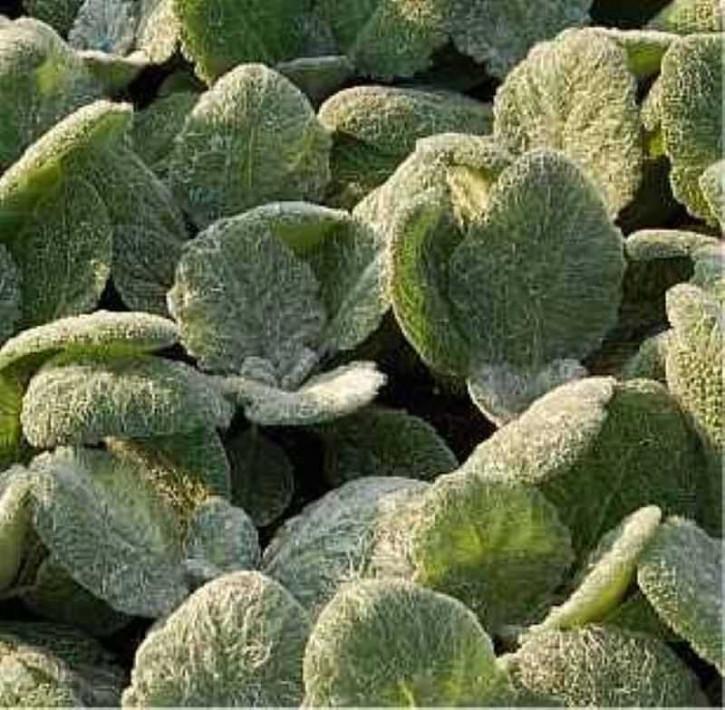 Silber Salbei - Salvia argentea