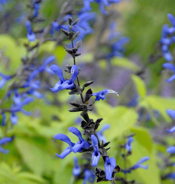 Salbei Black and Blue - Salvia guaranitica