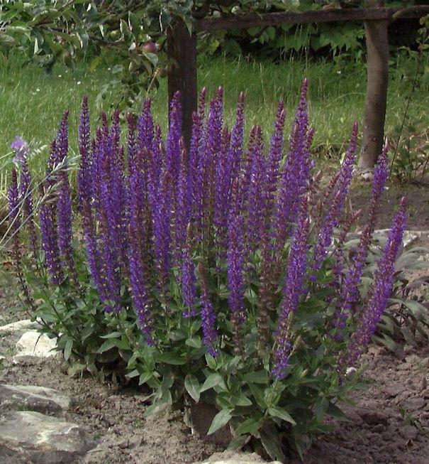 Salbei Ostfriesland - Salvia nemorosa