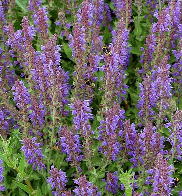 Salbei Rügen - Salvia nemorosa