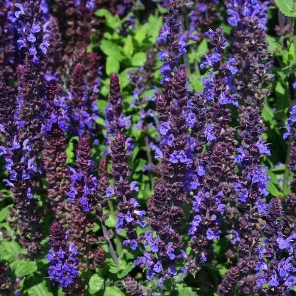 Salbei Sensation Compact Deep Blue - Salvia nemorosa
