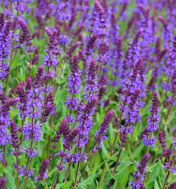Salbei Tänzerin - Salvia nemorosa