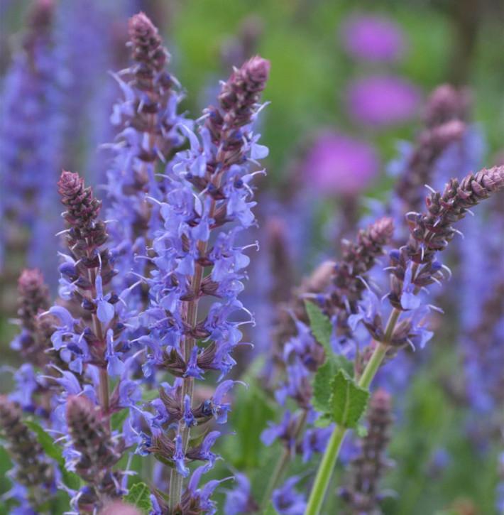 Salbei Blauhügel - Salvia nemorosa