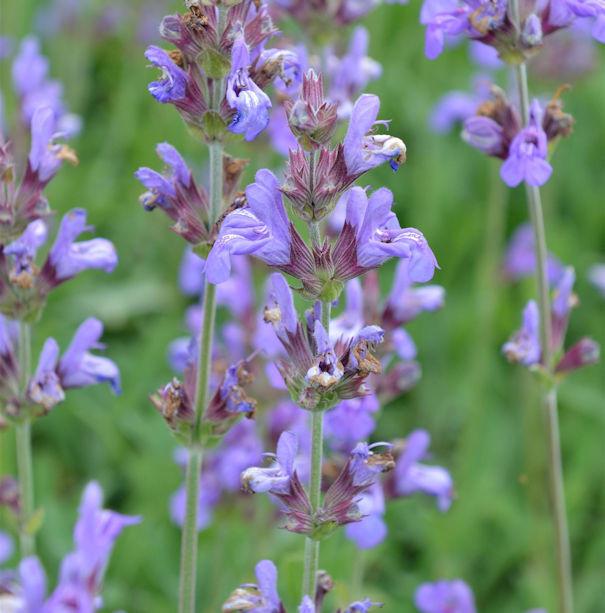 Echter Salbei Grete Stölzle - Salvia officinalis