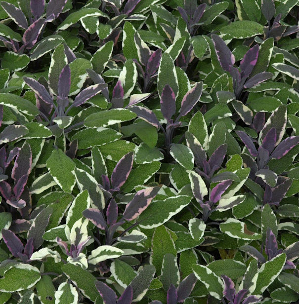 Echter Salbei Tricolor - Salvia officinalis