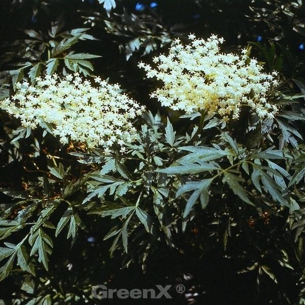 Grünblättriger Schlitz-Holunder Laciniata 60-80cm - Sambucus nigra