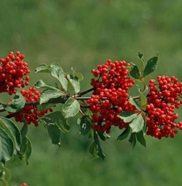 Rote Holunder 100-125cm - Sambucus racemosa