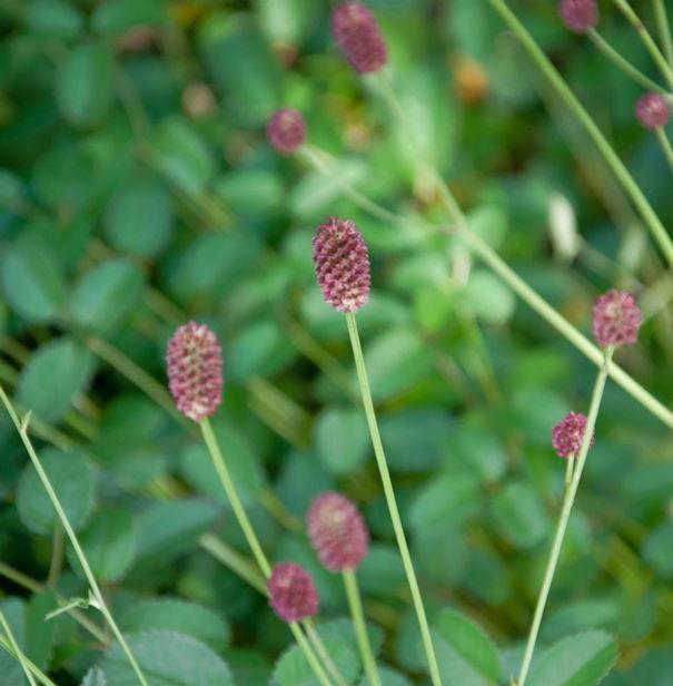 Wiesenknopf Tanna - Sanguisorba officinalis