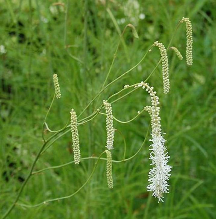 Weißblühender Wiesenknopf - Sanguisorba tenuifolia