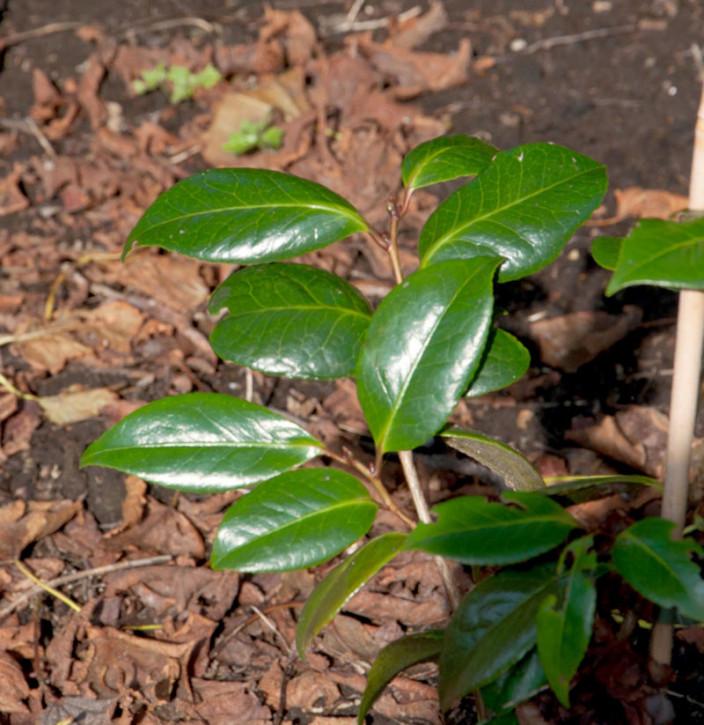 Nach Vanille duftende Fleischbeere Winter Gem 30-40cm - Sarcococca humilis