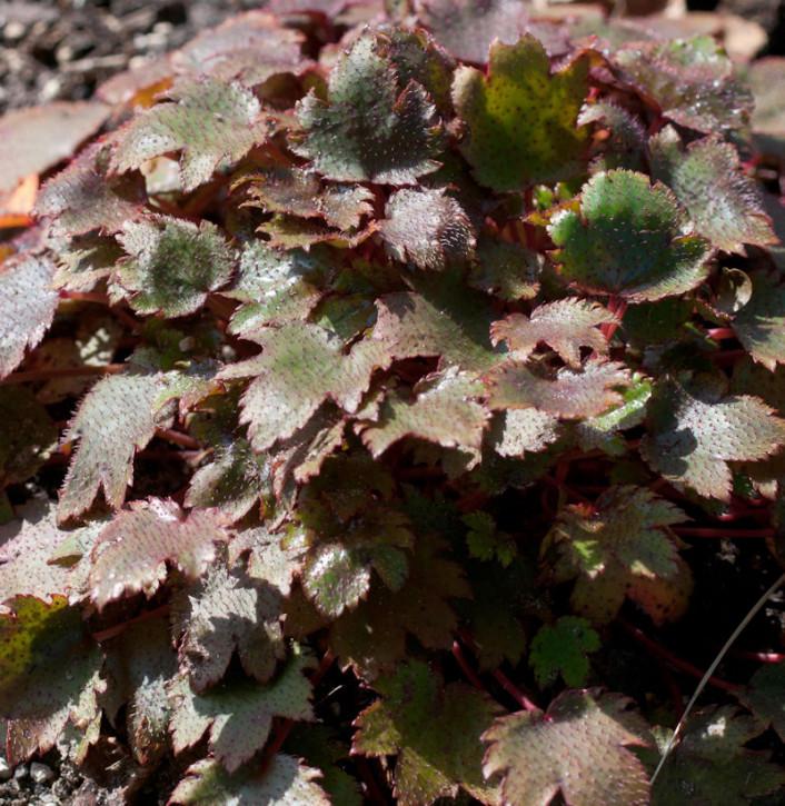 Steinbrech Black Ruby - Saxifraga cortusifolia