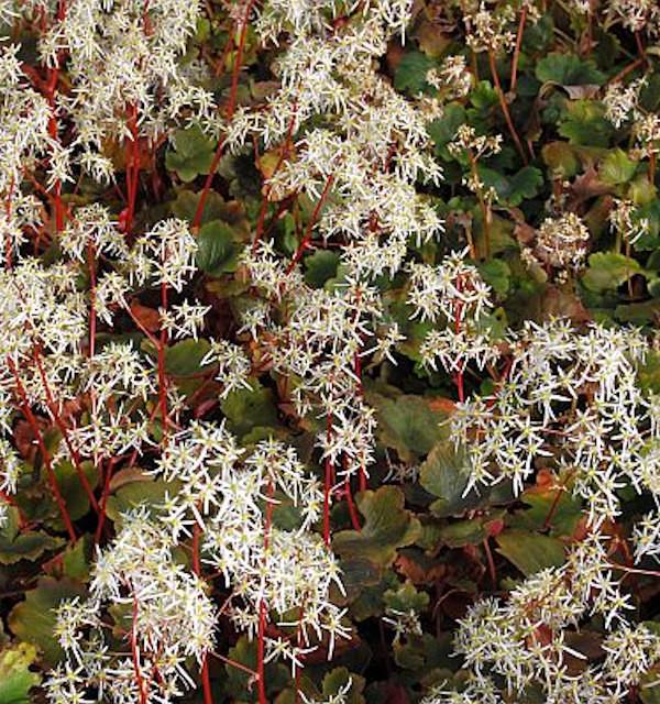 Steinbrech Rubrifolia - Saxifraga cortusifolia