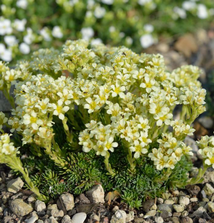 Moos Steinbrech - Saxifraga apiculata