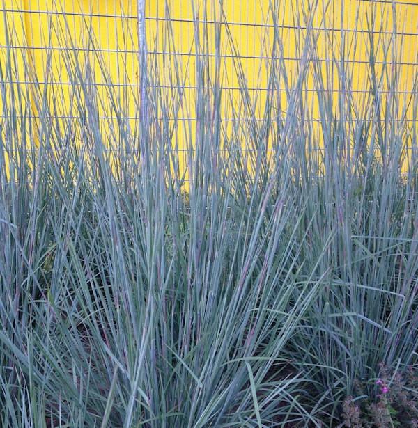 Bartgras Prairie Blues - Schizachyrium scoparium