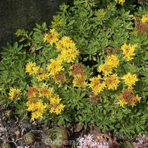 China Fettblatt - Sedum floriferum