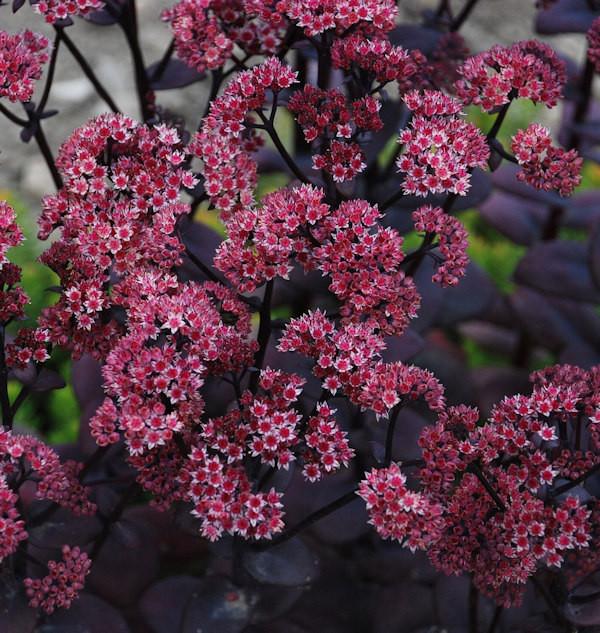 Große Fetthenne Black Beauty - Sedum telephium
