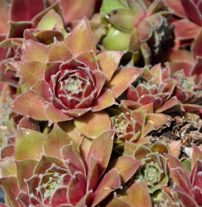 Dachwurz Bronze Pastel - Sempervivum cultorum