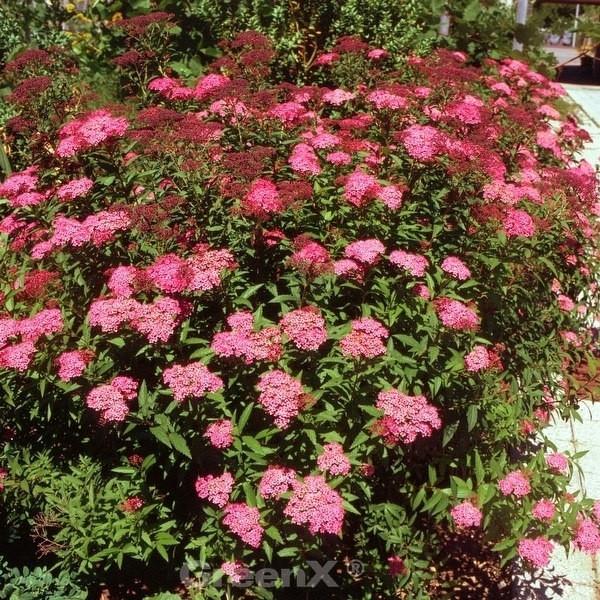 Roter Sommerspierstrauch Darts Red 30-40cm - Spiraea japonica