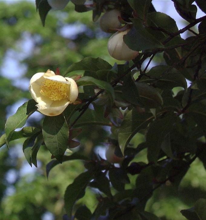 Japanische Scheinkamelie 100-125cm - Stewartia pseudocamellia