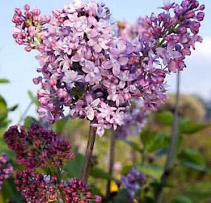 Edelflieder Antonie Buchner - Kircher-Collection 30-40cm - Syringa vulgaris