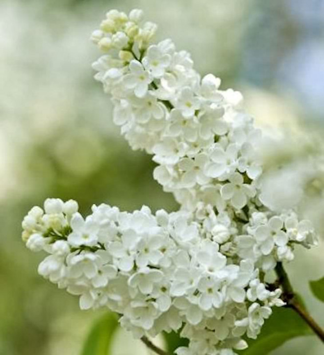 Edelflieder Beauty of Moscow 60-80cm - Syringa vulgaris