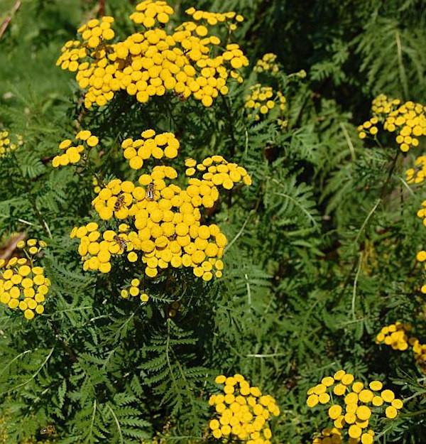 Wurmkraut - Tanacetum vulgare