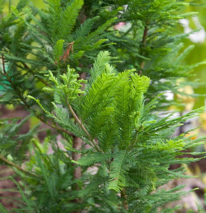 Hochstamm Zwerg Sumpfzypresse 60-80cm - Taxodium distichum