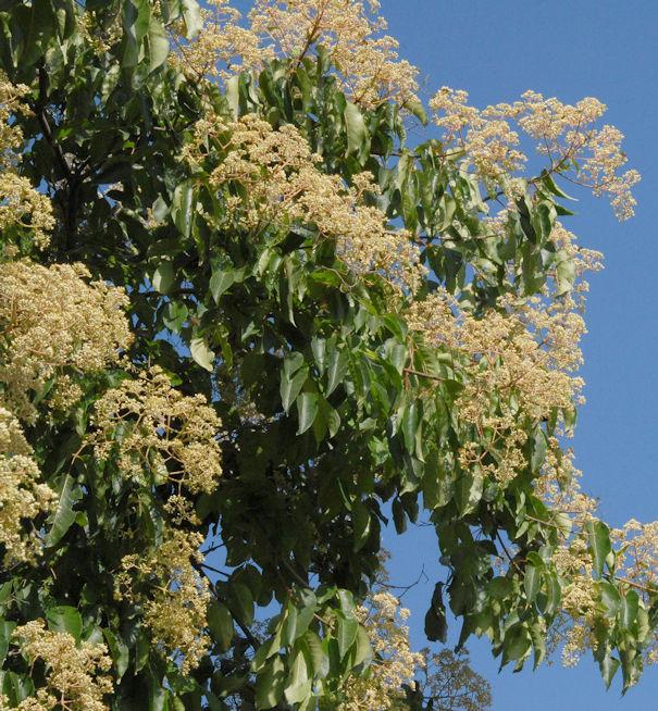 Bienenbaum - Koreanische Stinkesche 100-125cm - Tetradium daniellii hupehensis