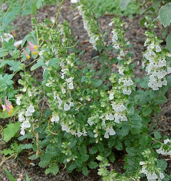 Immergrüner Gamander Alba - Teucrium lucidrys