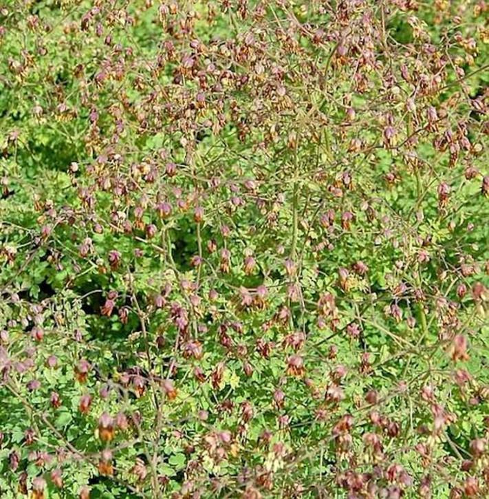 Alpen Wiesenraute - Thalictrum alpinum