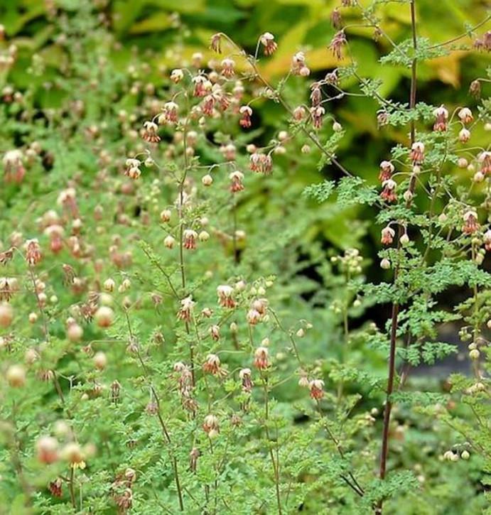 Kleines Wiesenraute - Thalictrum isopyroides