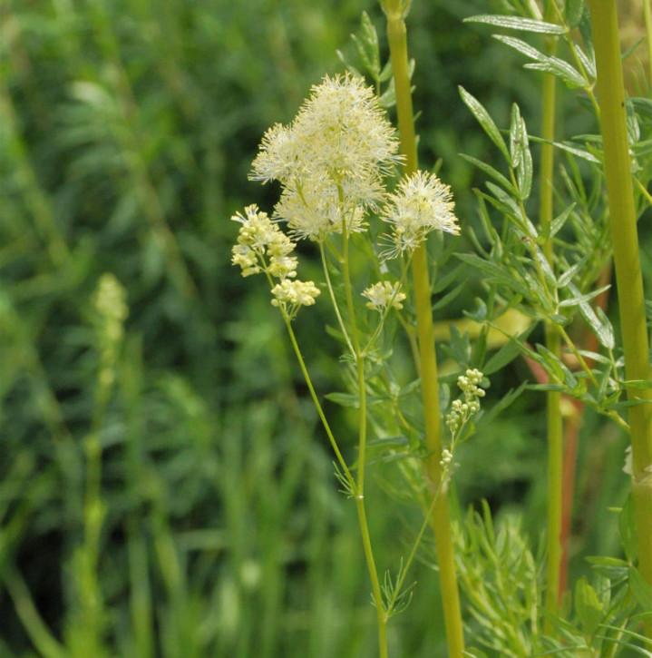 Glänzende Wiesenraute - Thalictrum lucidum