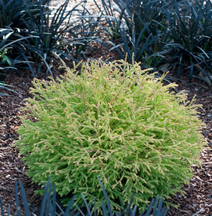 Lebensbaum Fire Chef 20-30cm - Thuja occidentalis