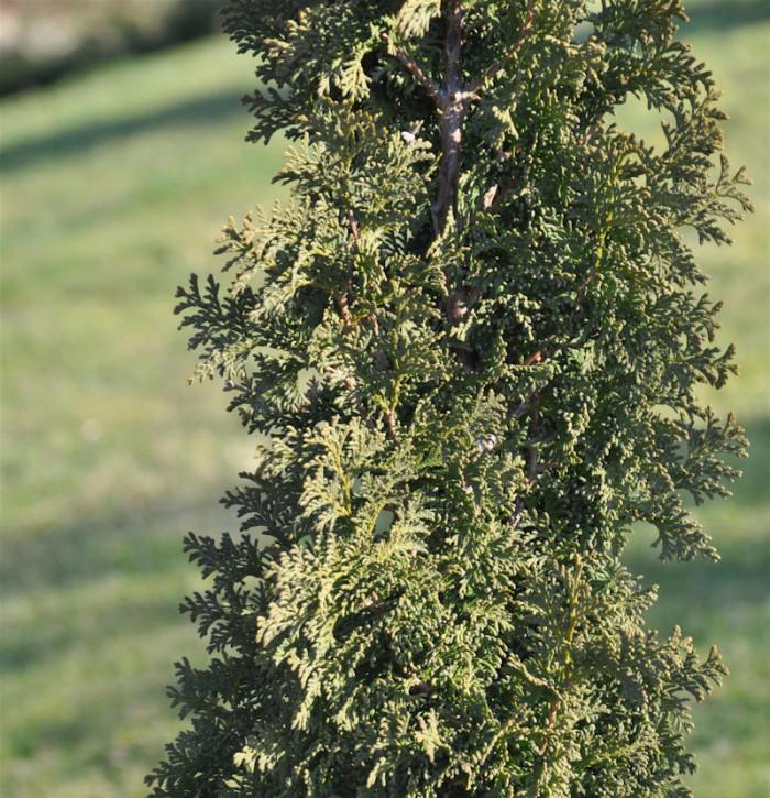 Säulen Lebensbaum Toscana® 100-125cm - Thuja occidentalis