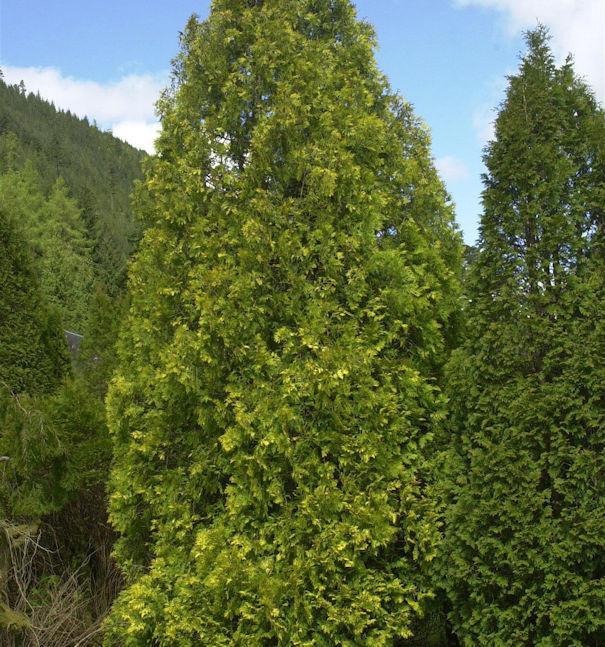 Gelber Riesenlebensbaum 125-150cm - Thuja plicata