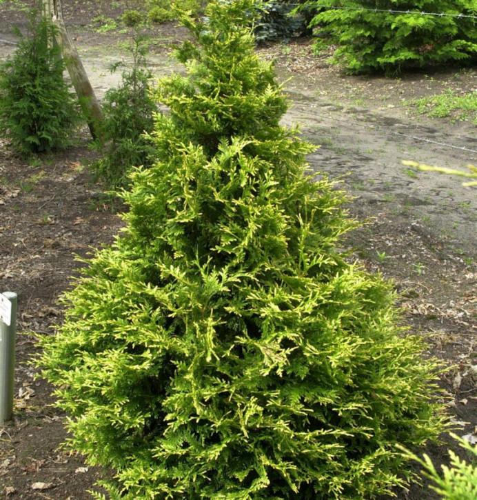 Riesenlebensbaum Can Can 20-25cm - Thuja plicata