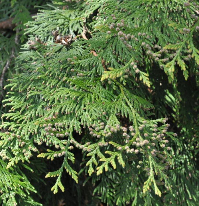 Lebensbaum Martin 80-100cm - Thuja plicata