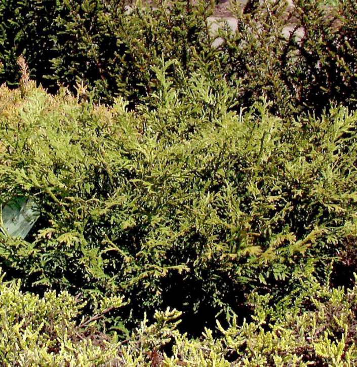 Zwerghibalebensbaum 40-50cm - Thujopsis dolabrata