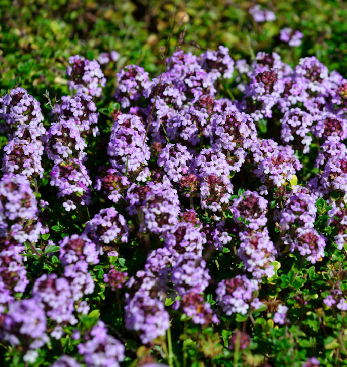 Thymian Doone Valley - Thymus comosus