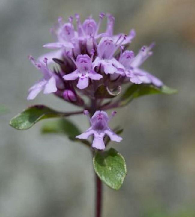 Polsterthymian Minor - Thymus praecox