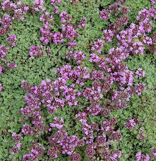 Polsterthymian Pseudolanuginosus - Thymus praecox