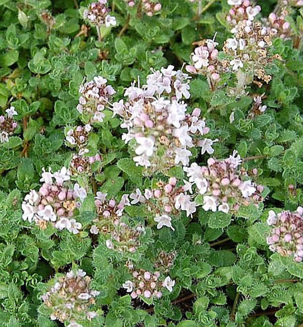 Teppich Thymian Pink Chintz - Thymus serpyllum