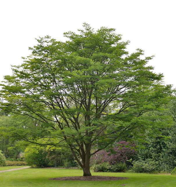 Chinesischer Surenbaum 100-125cm - Toona sinensis