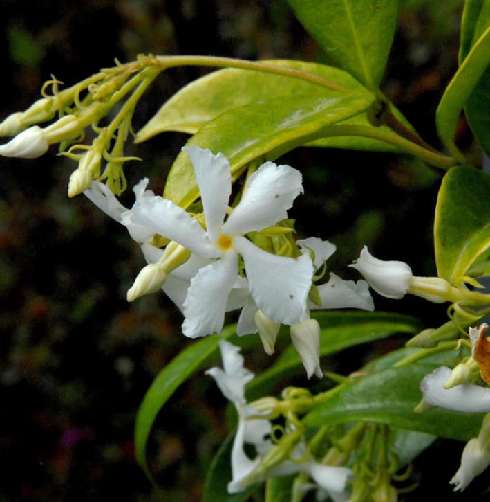Sternjasmin 60-80cm - Trachelospermum