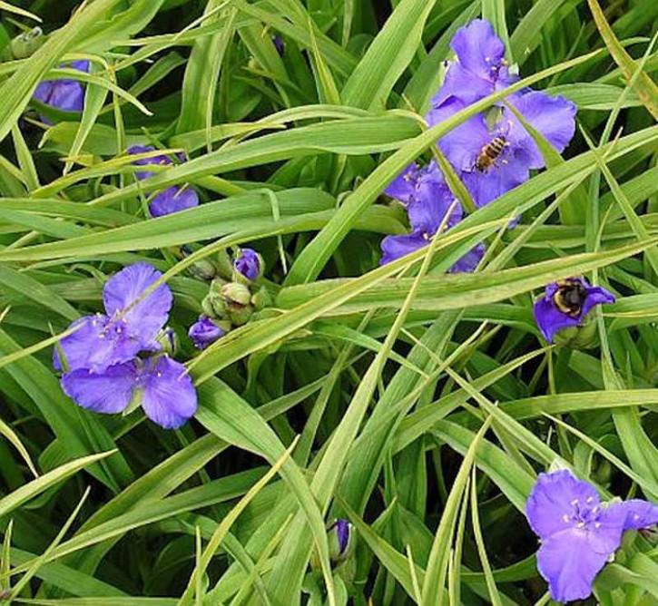 Dreimasterblumen Bärbel - Tradescantia andersoniana