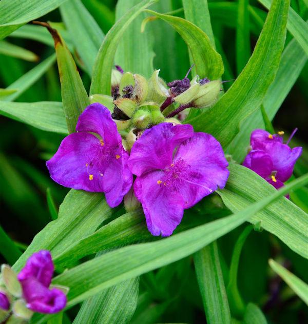 Dreimasterblumen Rubra - Tradescantia andersoniana